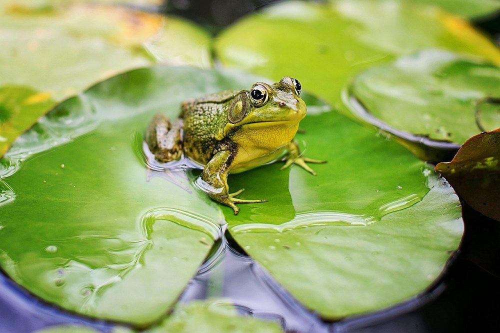 Żaby ciekawostki