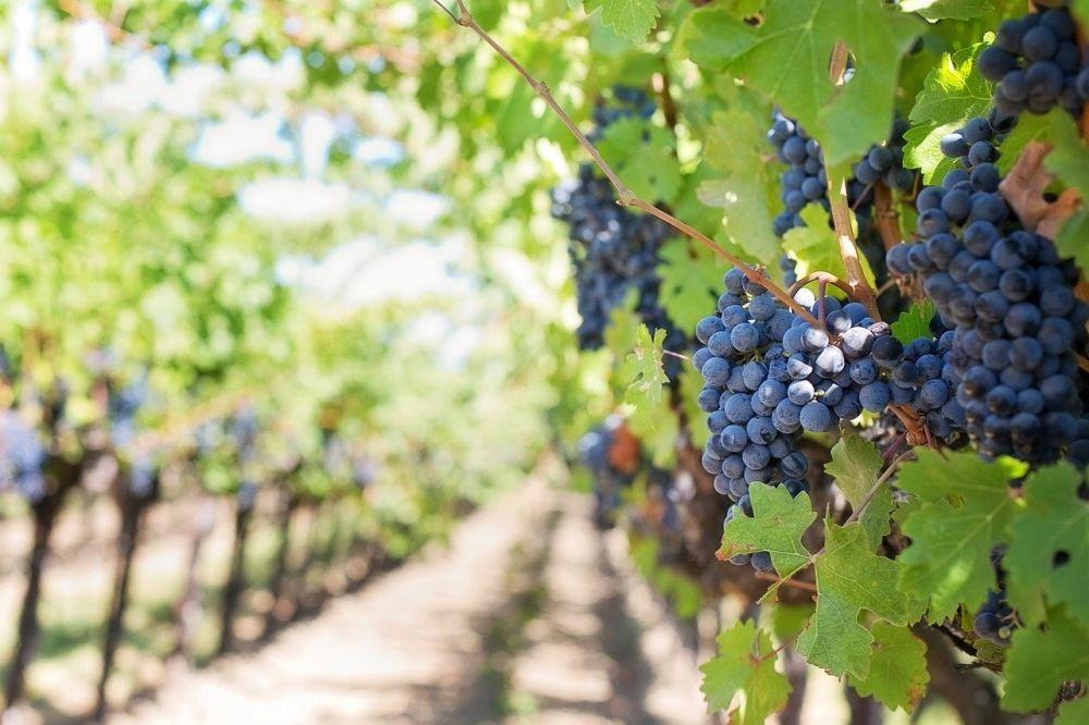 winorośl, winnice podkarpackie